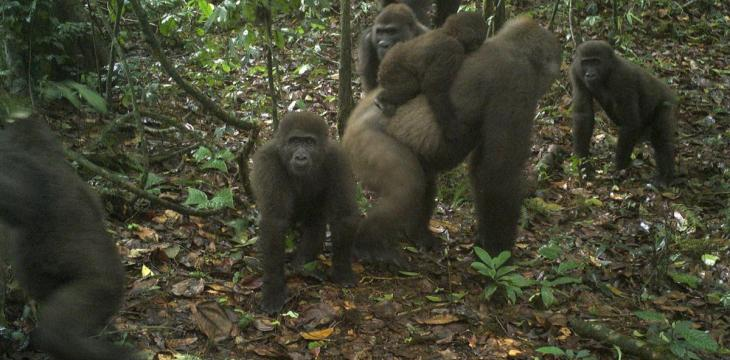 Rare Gorillas Captured on Camera with Babies in Nigeria's Mbe Mountains