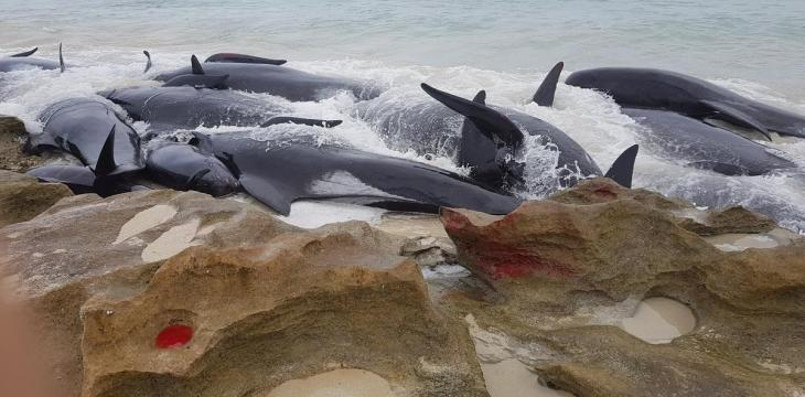 Up to 70 Whales Stranded in South Australia
