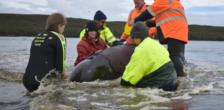 Final Whale Saved From Grim Australia Mass Stranding