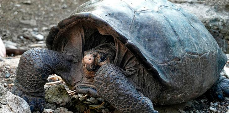 Galapagos Giant Tortoises Released, Returned Home