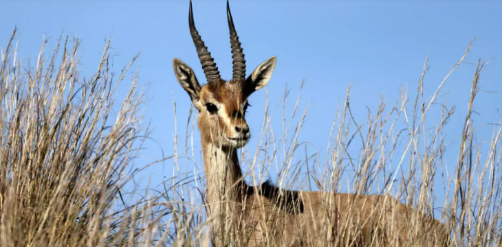 Israel Studies New Forest Home for Endangered Mountain Gazelle