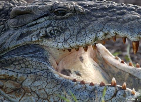Extinct 'Horned' Crocodile Gets New Place in the Tree of Life
